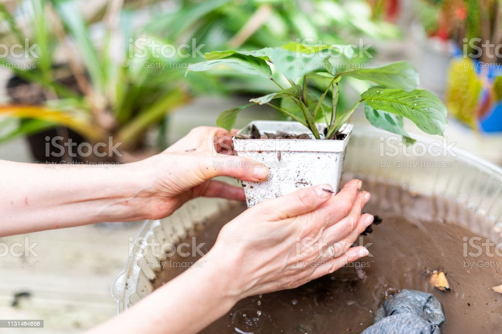 Closeup of woman hand holding potted calathea zebra peacock plant...
