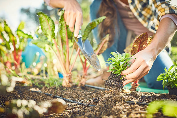 close-up of woman planting in organic farm - organic farm stock photos and pictures