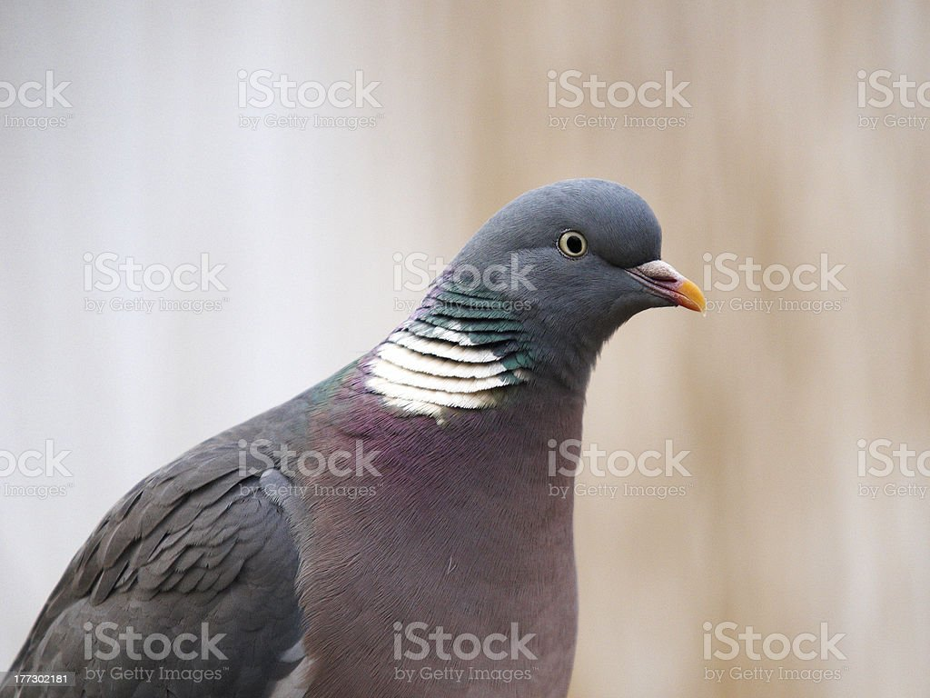 Closeup Of Wood Pigeon Columba Palaumbus Stock Photo - Download