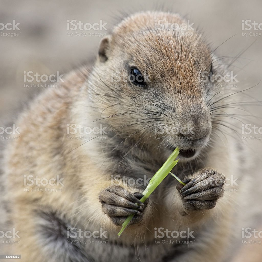 close-up of woodchuck eating grass royalty-free stock photo