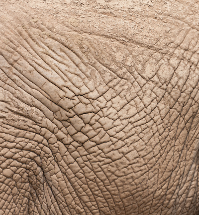 African elephant closeup as the local skin,The folds of skin covered with mud.
