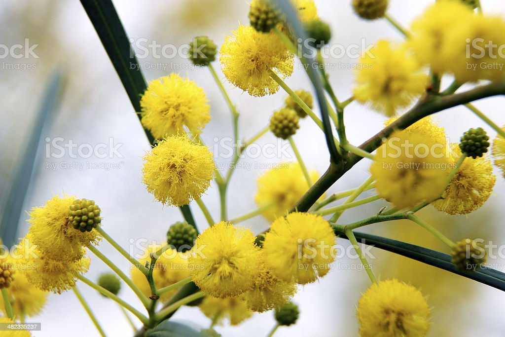 Closeup of yellow acacia (mimosa) trees on the nature stock photo