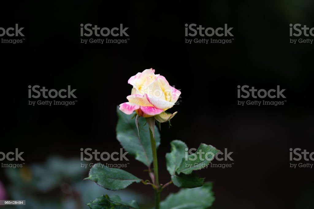 close-up of yellow and pink rose flower 'Bella'roma' royalty-free stock photo