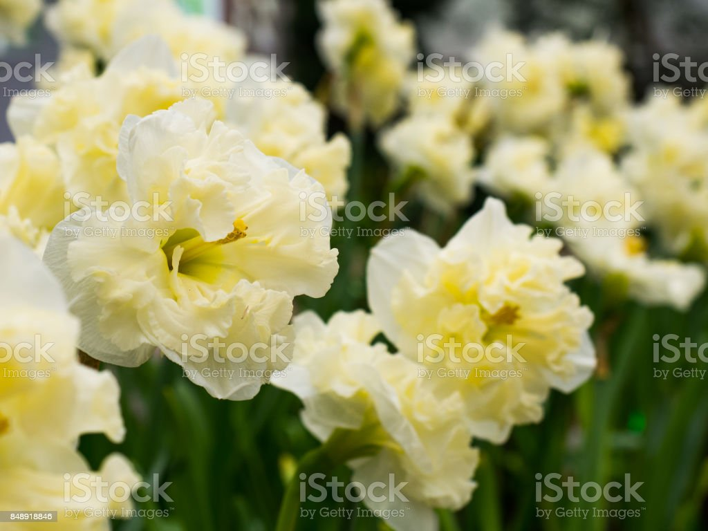 Closeup Of Yellow And White Petal Color Flower Stock Photo More