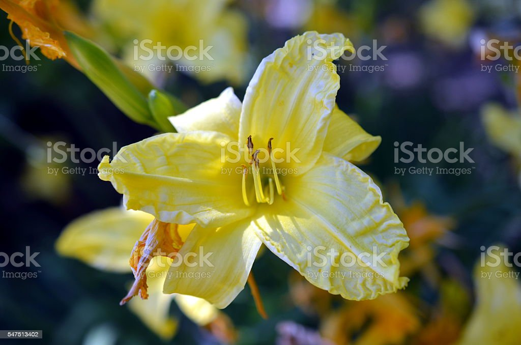 closeup of yellow Asphodeline lutea blossom stock photo