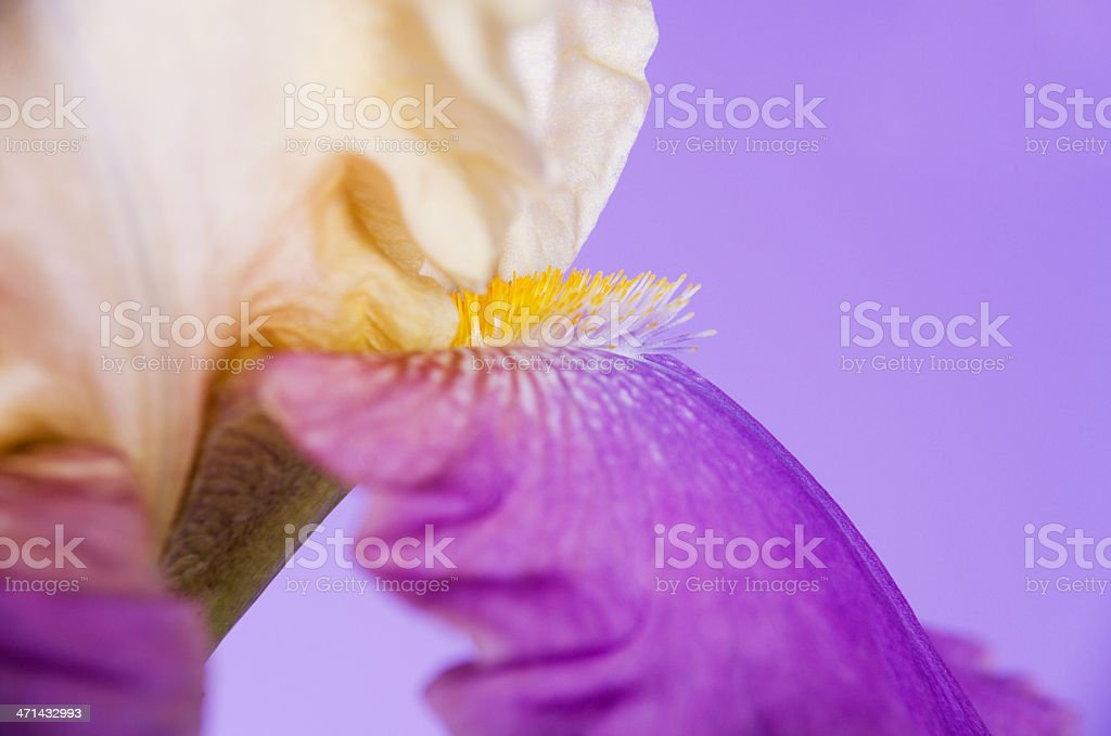 Closeup of yellow beard on iris. royalty-free stock photo