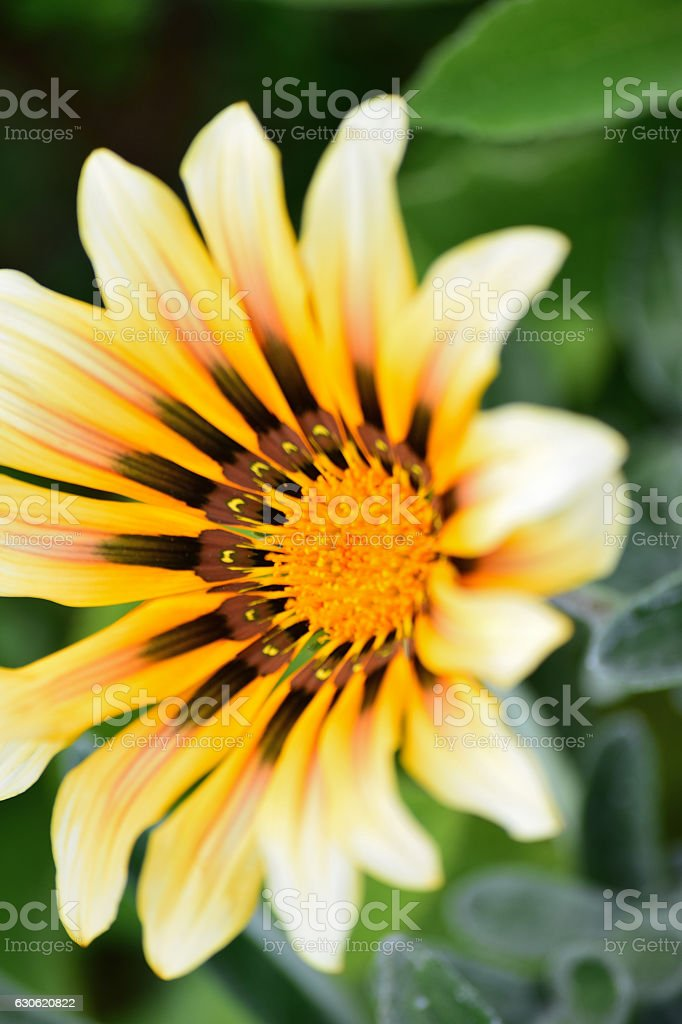 Closeup of yellow & brown aster flowers stock photo