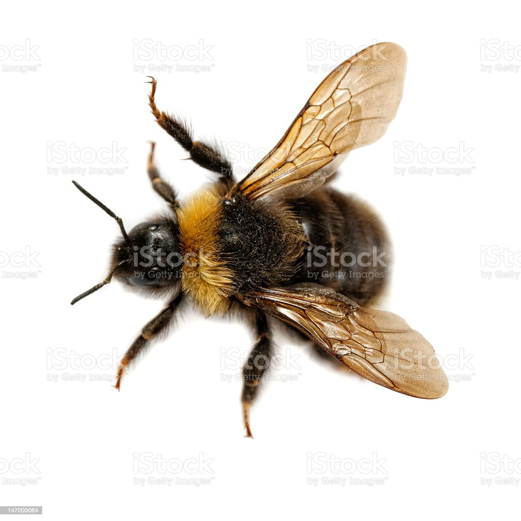 Close-up of yellow bumblebee on a white background stock photo