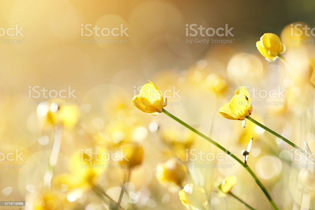 Close-up of yellow buttercups with blurred background stock photo