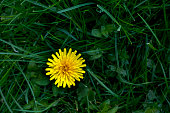 Close-up of yellow dandelion on a background of green grass.