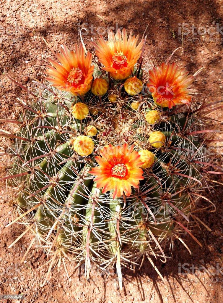Closeup of yellow flowers of barrel cactus in public park in St George Utah along walkway through desert gardens stock photo