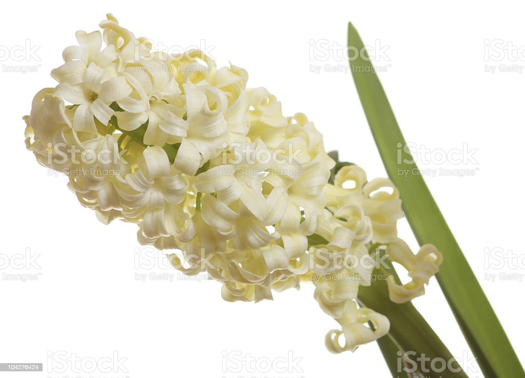 Closeup of yellow hyacinth isolated on white stock photo