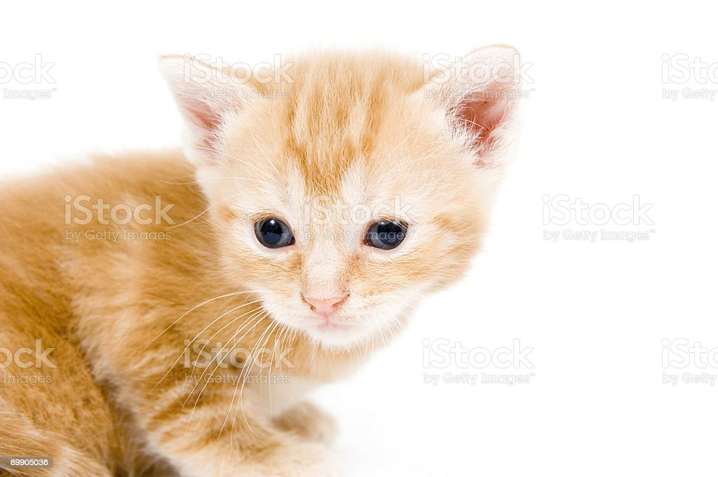 Closeup of yellow kitten looking left royalty-free stock photo