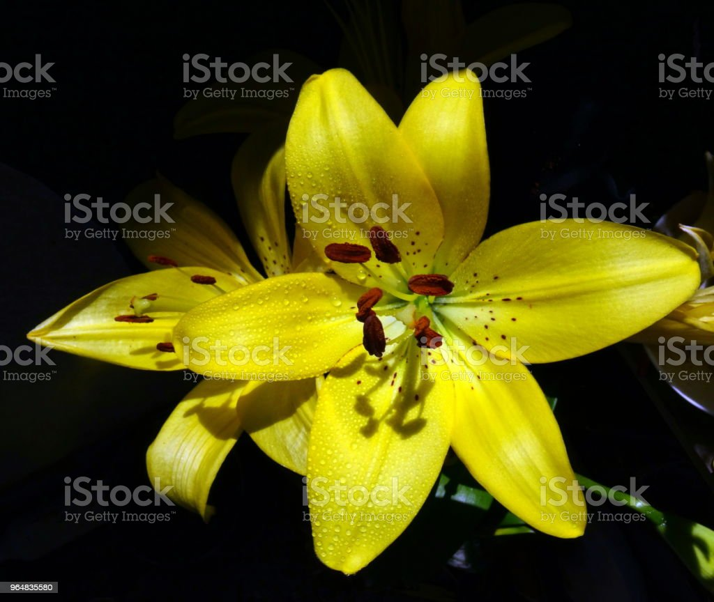 Close-Up of yellow lily flower royalty-free stock photo