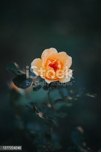 istock Close-up of yellow rose flower blossoming in the garden 1277224240
