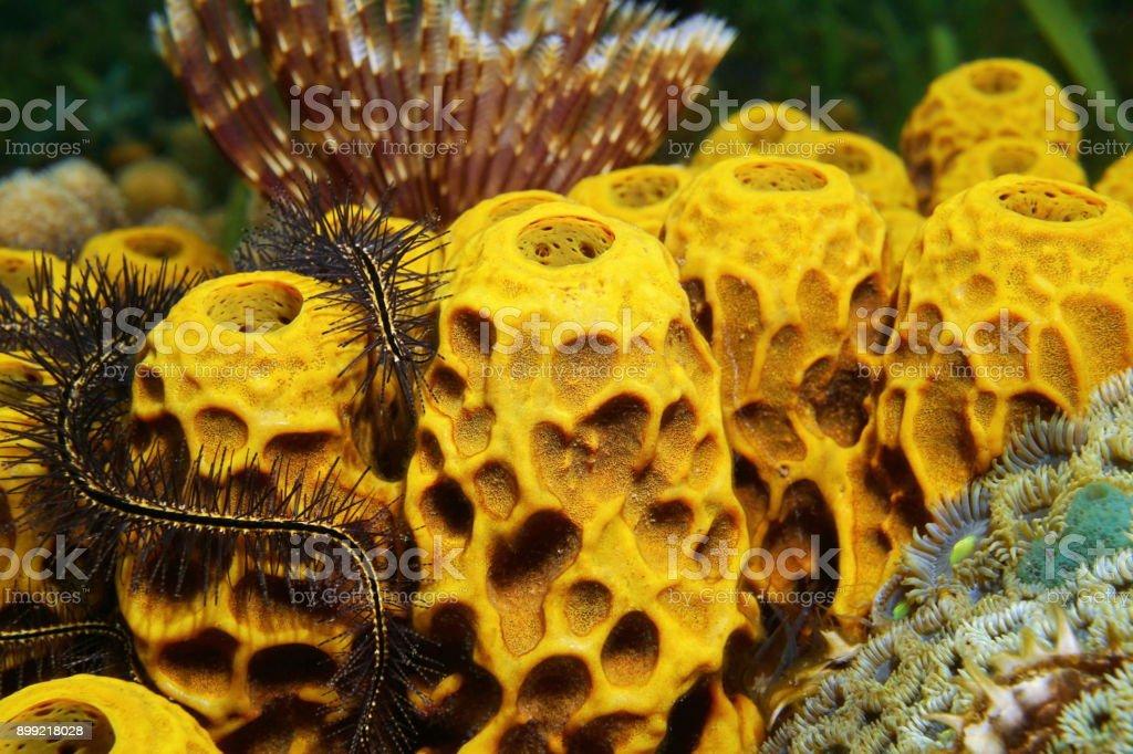 Primer plano de la esponja Aplysina insularis de tubo amarillo - foto de stock