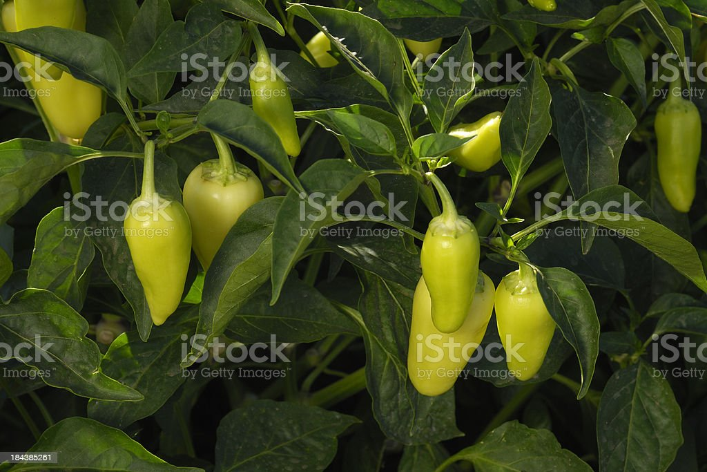 Close-up of Yellow Wax Chili Peppers Ripening on Plant stock photo
