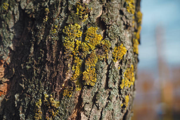 Close-Up Of Yellow Xanthoria Parietina Lichen Growing On Tree Bark A close-up shot of the yellow Xanthoria Parietina lichen growing on tree bark. slime mold stock pictures, royalty-free photos & images