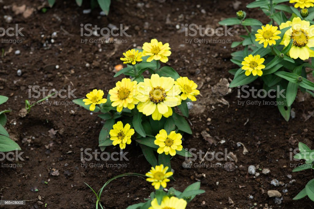 close-up of yellow zinnia flower royalty-free stock photo