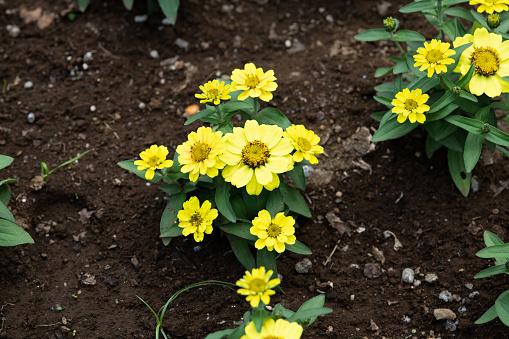 Closeup Of Yellow Zinnia Flower Stock Photo - Download Image Now