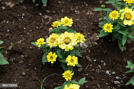 Closeup Of Yellow Zinnia Flower Stock Photo & More Pictures of Beauty In Nature