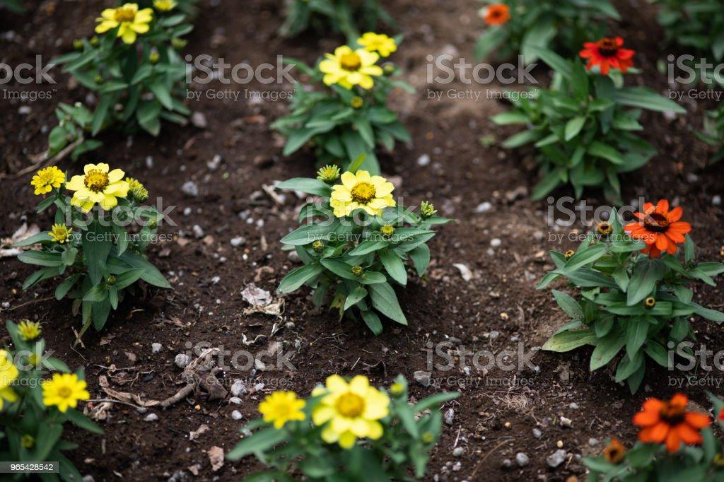 close-up of yellow zinnia flower royalty-free stock photo