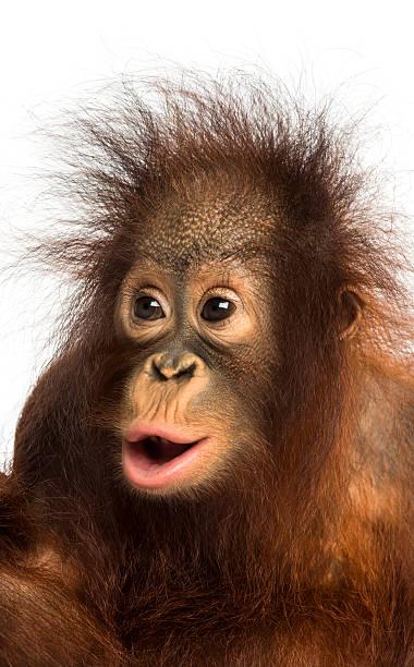 Close-up of young Bornean orangutan looking amazed, Pongo pygmaeus stock photo