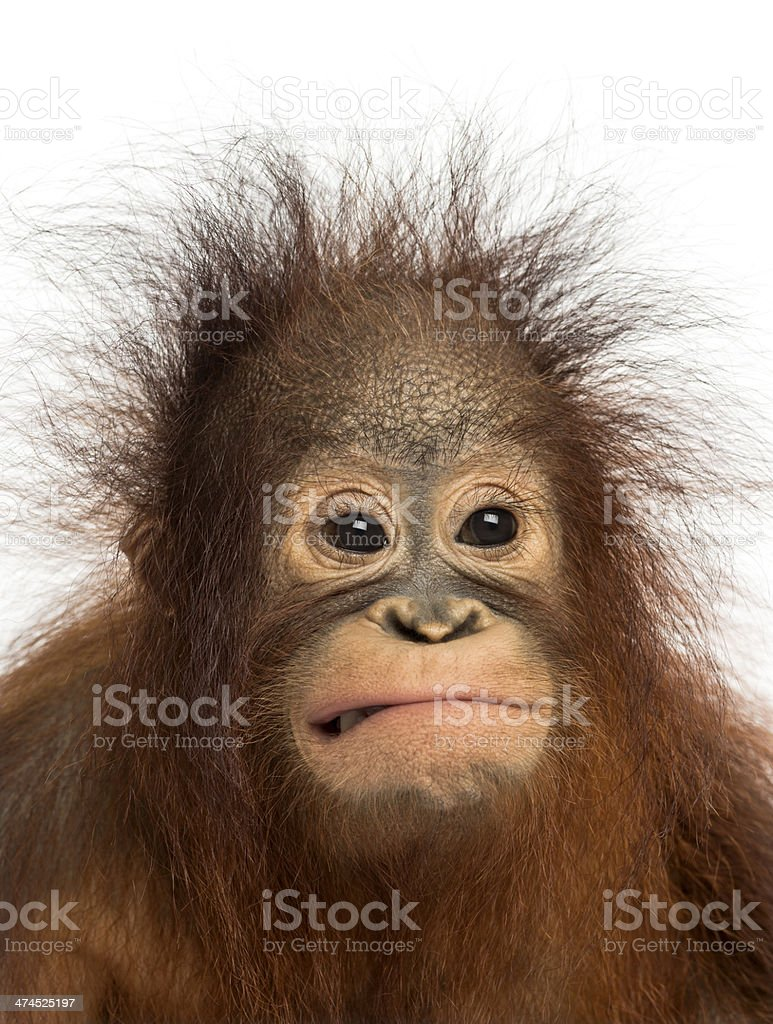 Close-up of young Bornean orangutan making a face, Pongo pygmaeus stock photo
