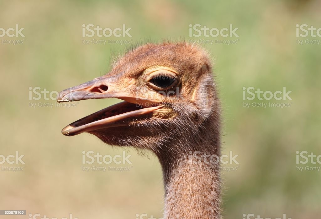 close-up of young common ostrich stock photo