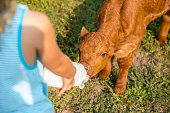 istock Close-Up of Young Girl Bottle Feeding Brown Calf 842710300