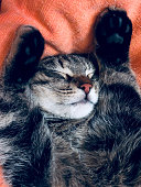 Young male gray Tabby cat cutely sleeping on an orange blanket with his forelegs beside his head, close-up