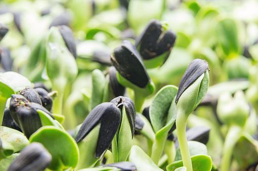 Closeup of young Microgreen - sunflower seeds
