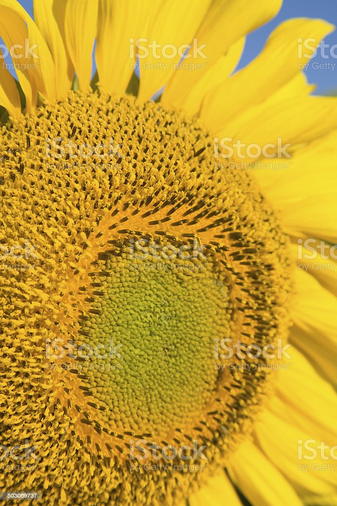 Close-up of young sunflower center royalty-free stock photo