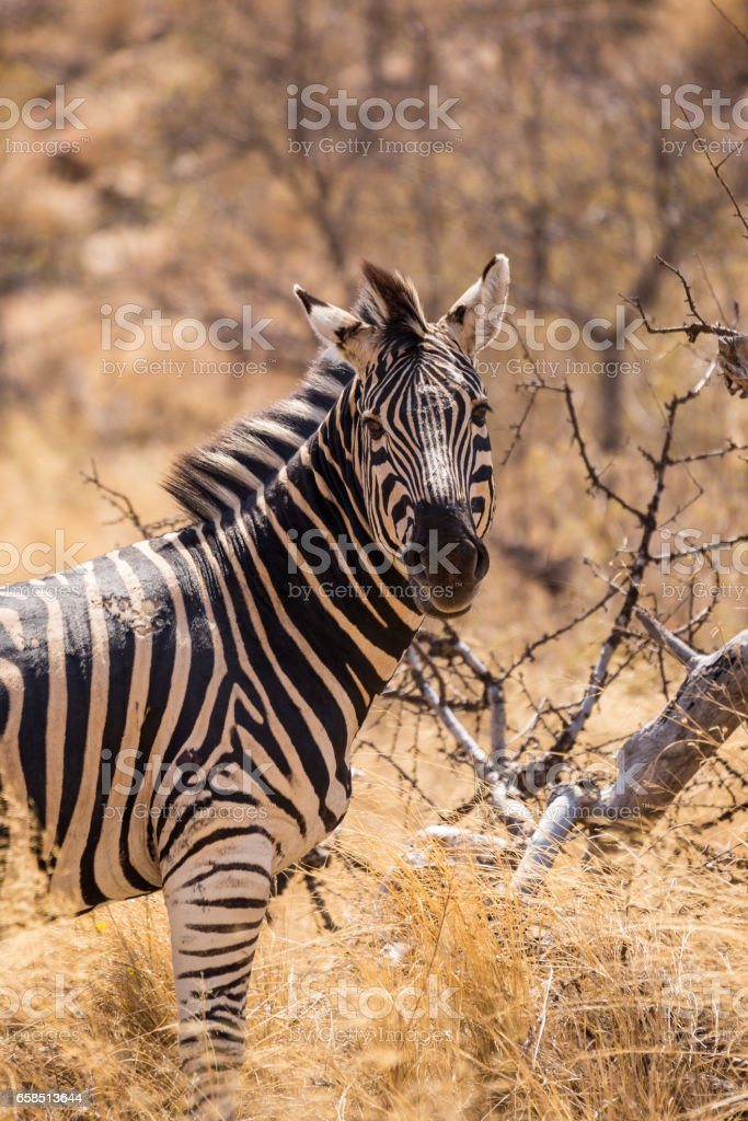 Close-Up of Zebra in Savannah, South Africa, Mapungubwe Park stock photo
