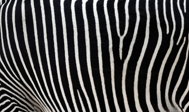 close-up of zebra stripes - padrões zebra imagens e fotografias de stock