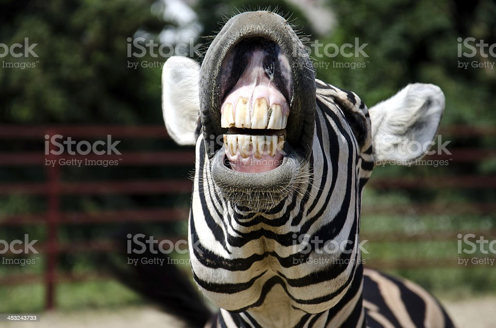 Close-up of zebra who is curling lips up and showing teeth stock photo