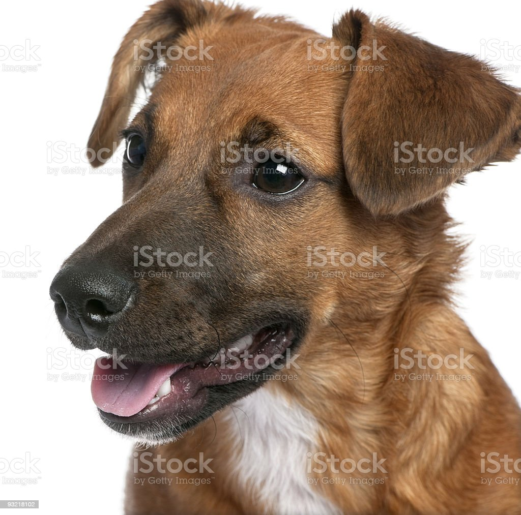 Close-up on a brown Bastard puppy (6 months old) royalty-free stock photo