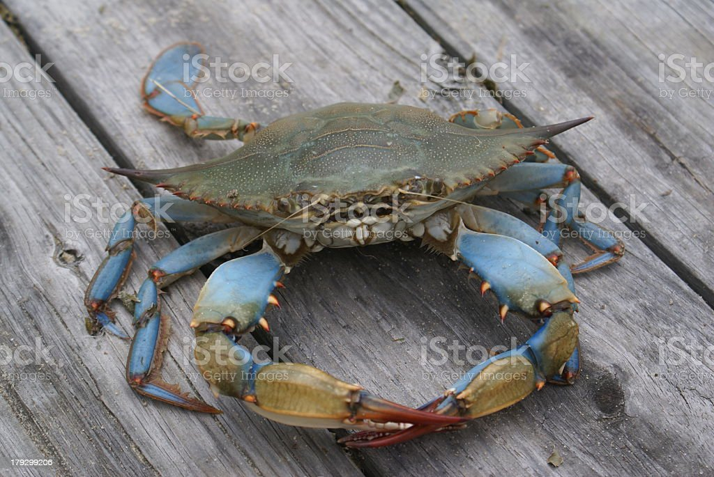 A close-up on a Chesapeake blue crab stock photo