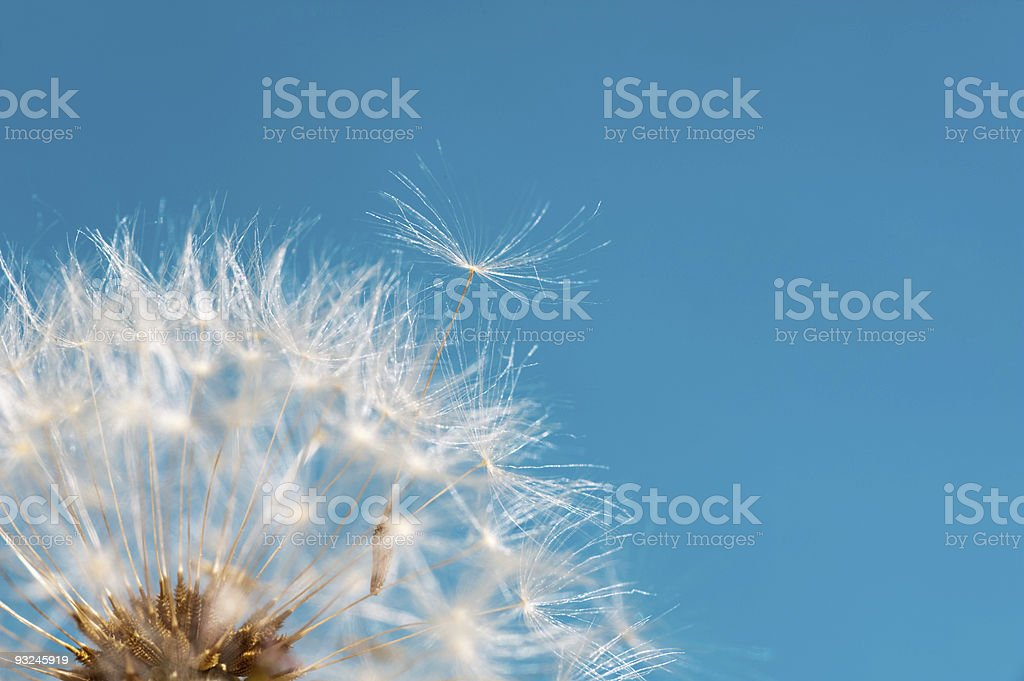 Closeup on a dandelion seeds flying off over blue background royalty-free stock photo