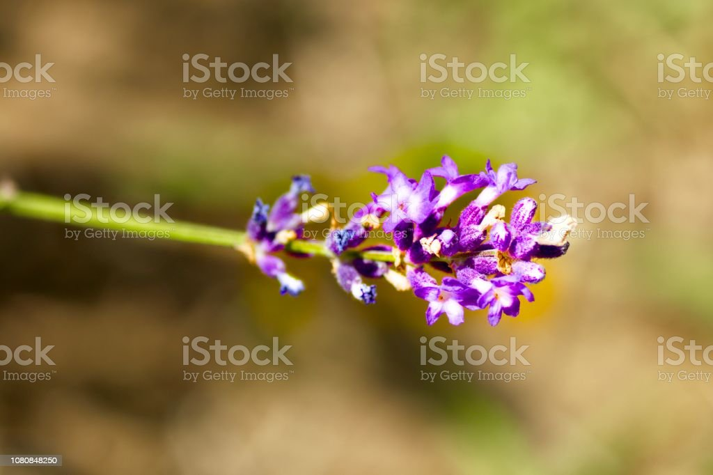 Close-up on a lavender plant stock photo