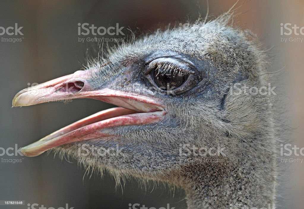 close-up on a ostrich's head royalty-free stock photo