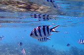 Close-up on a stripped fish of the blue lagoon in Fiji island in the Pacific Ocean