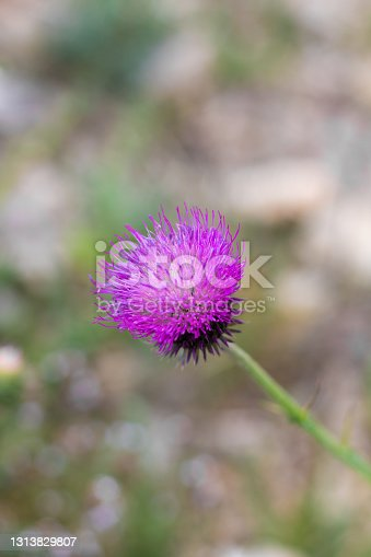 Close-up on a thistle flower