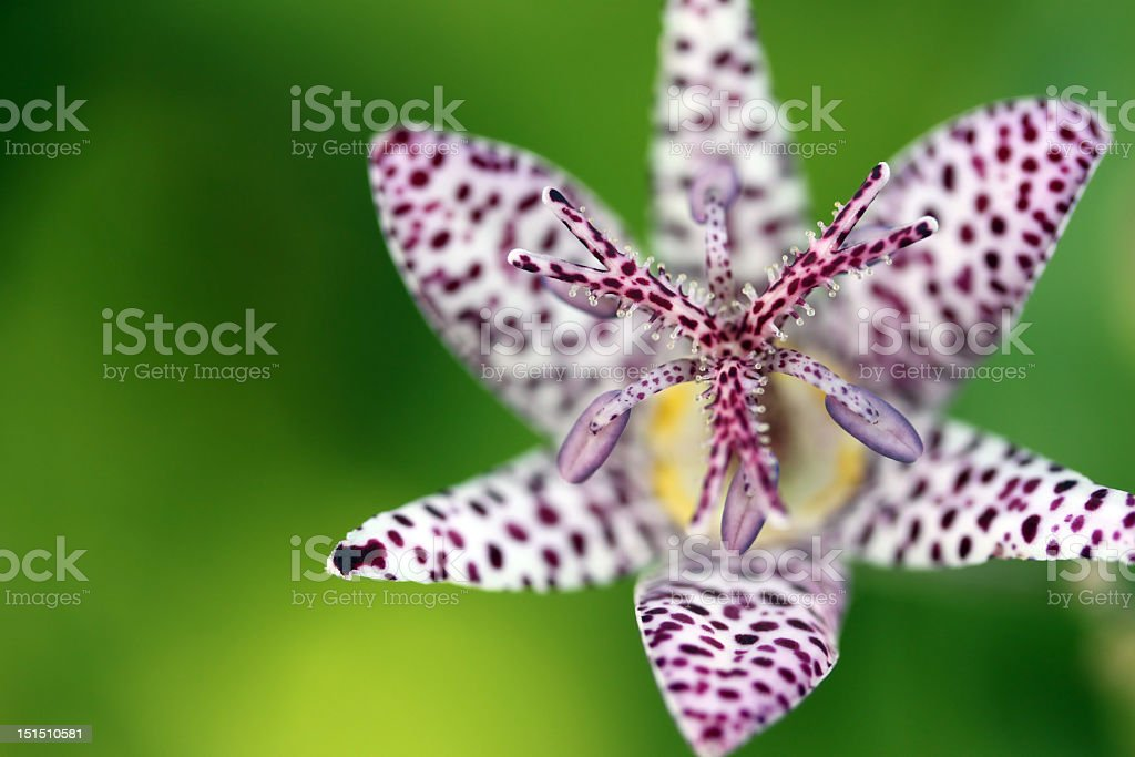 Close-up on a toad lilly (Tricyrtis hirta) Macro shot with selective depth of field of a gorgeous flower of Tricyrtis Hirta, from the lilly (liliaceae) family of flowers. The tricyrtis genus is know in English as Toad lilly and are mostly spread from Himalayas to Eastern Asia.  The particula Tricyrtis Hirta is spread mostly in Japanese mountaineous regions. Animal Stock Photo
