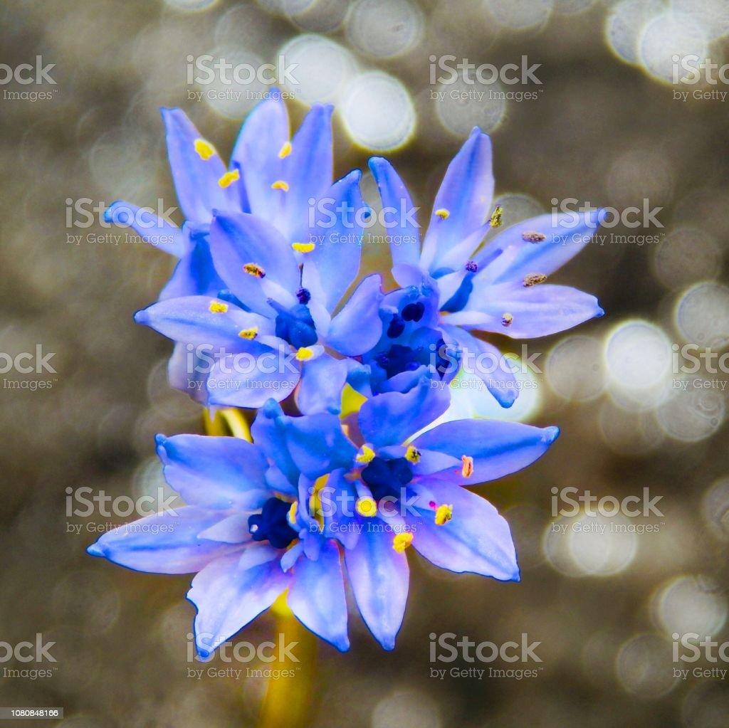 Close-up on an alpine flower stock photo