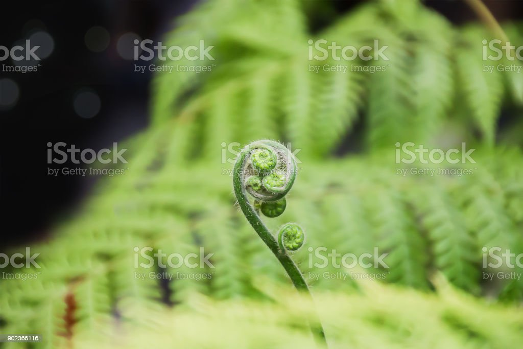 Closeup on beautiful begining new life of young tree fern at the outdoor garden in summer time. stock photo
