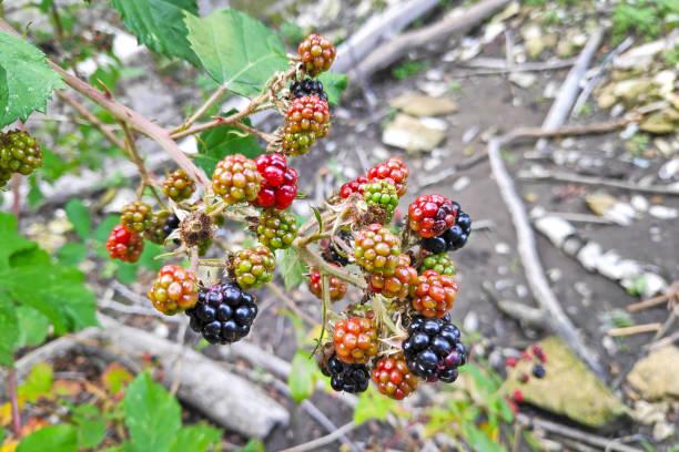 Close-up on Blackberries stock photo