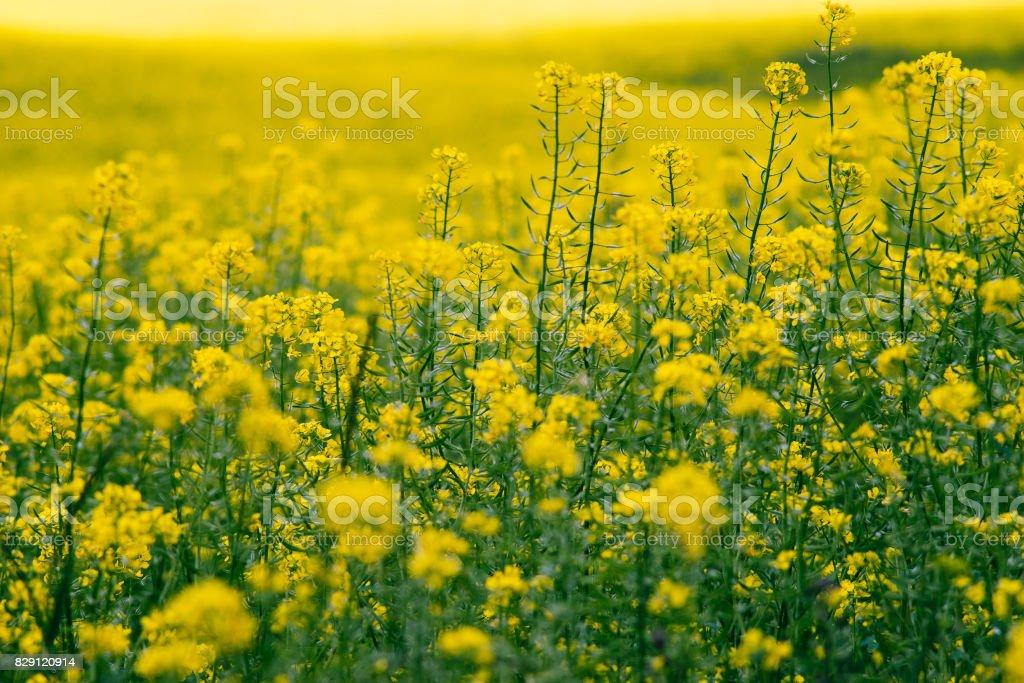 Closeup on blossom canola or colza flowers field stock photo