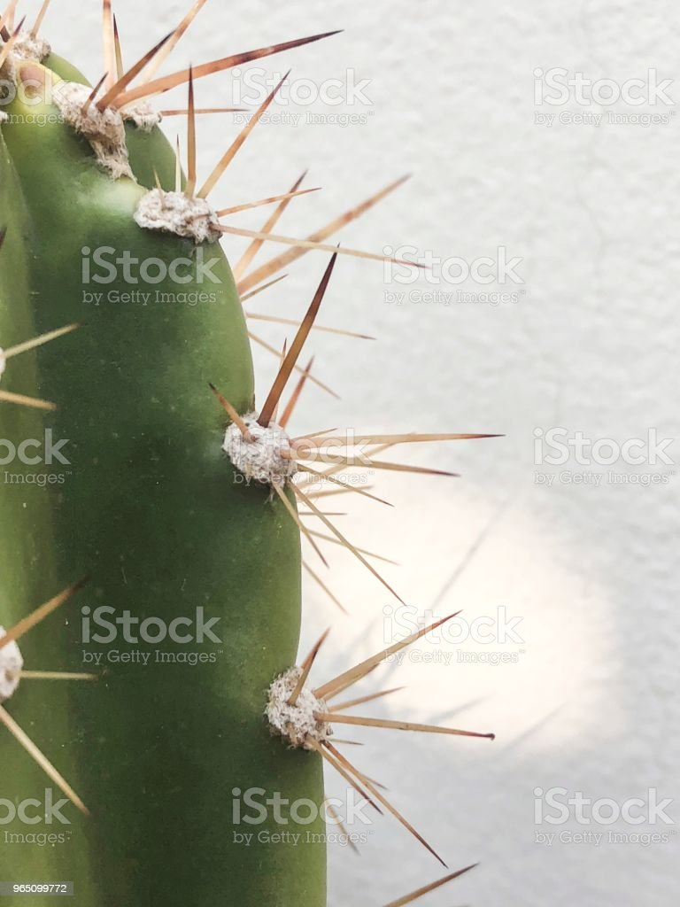 Closeup on cactus succulent plant with thorns zbiór zdjęć royalty-free