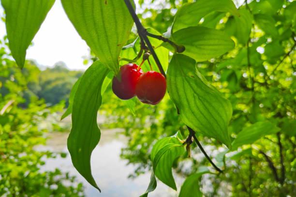 Close-up on Cornelian cherries stock photo